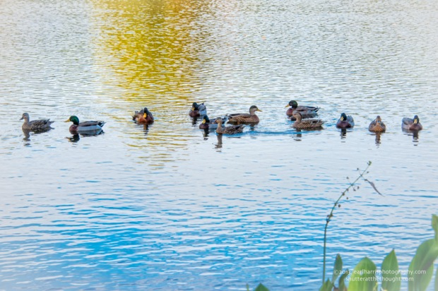 """Ducks in a Row"" [Click the image to enlarge/reduce its size.] Nikon D800, ISO 140, f/10 at 1/200 sec., 116 mm"