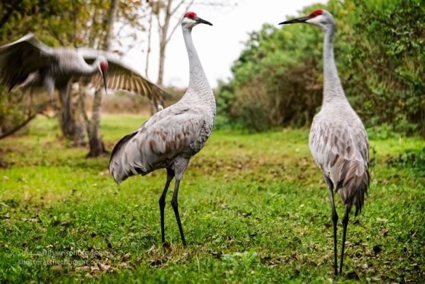 """""""Sandhill Cranes"""" [Click the image to enlarge/reduce its size.] Nikon D800, ISO 200, f/5.6 at 1/50 sec., 125mm Buy this Image here."""
