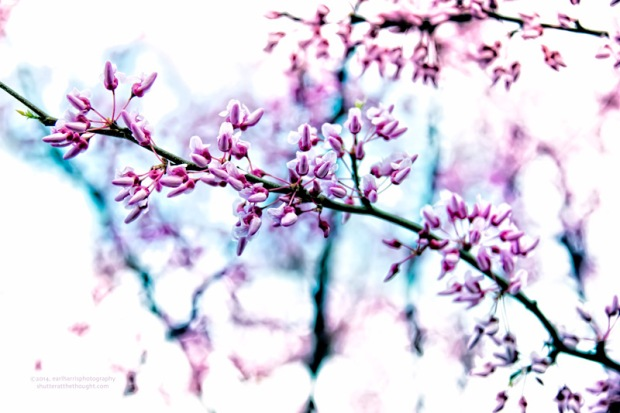 """Eastern Redbud"", Nikon D800, ISO 400, f/5.3 at 1/160 sec., 98mm"