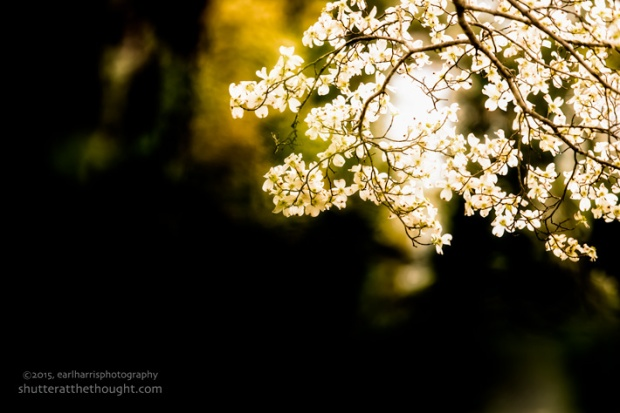 """Dalton Dogwood"",  Nikon D800, ISO 100, f/2.8 at 1/320th sec., 180mm"