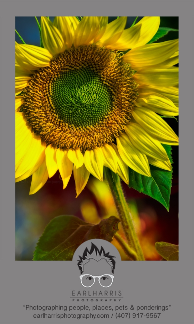 Sunflower 5760 c2017earlharrisphotography