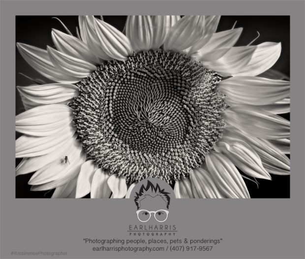 Sunflower and Fly BW c2017earlharrisphotography